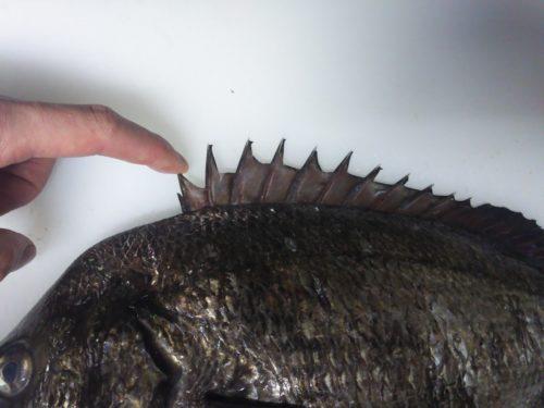 クロダイ(黒鯛)、チヌの背びれ