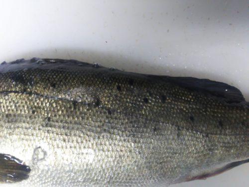 スズキの若魚(フッコ)にみられる体の斑点模様