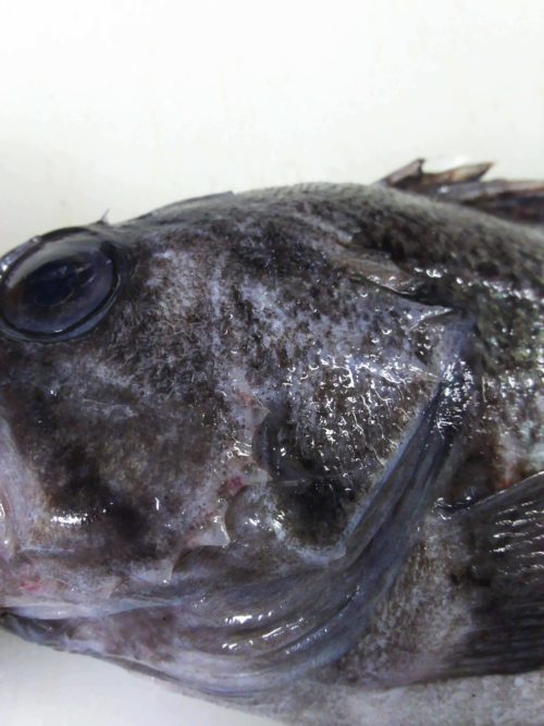 マゾイ(キツネメバル)の鰓蓋(えらぶた)