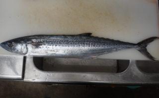 おいしい魚「サゴシ」の漢字表記「青箭魚」の意味とは?